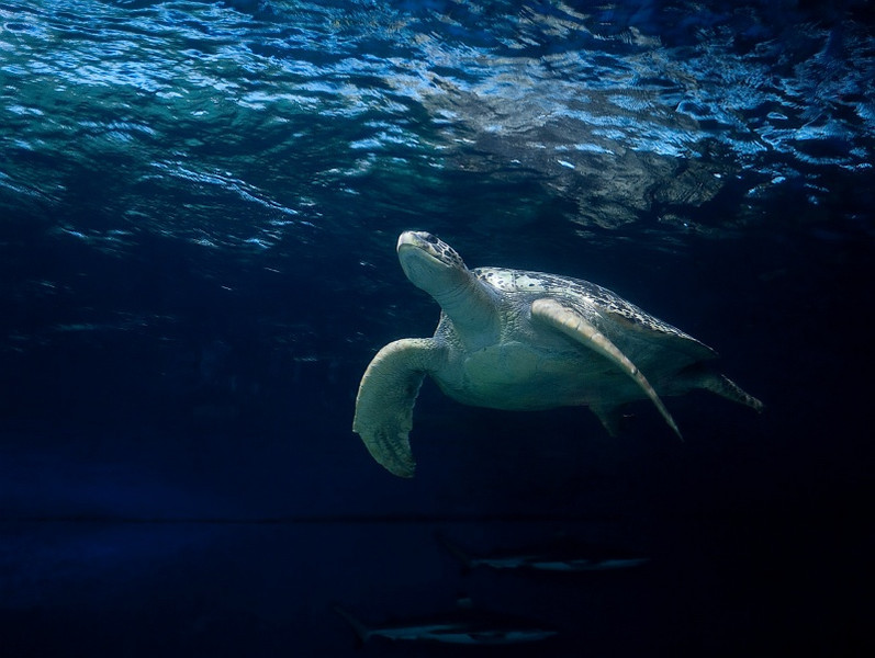 25 Oct 2012: Sea turtle at the Vancouver Aquarium