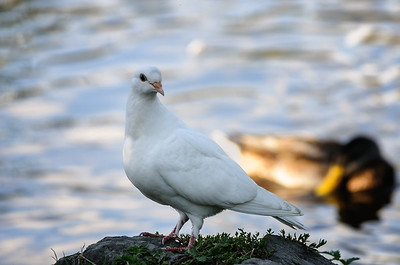 31 Aug 2014: A white rock dove (feral pigeon). Sibley says these aren't very common.