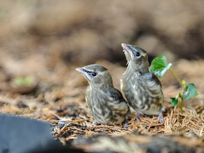 8 Sep 2014: Last one of the baby birds. We think these are white-crowned sparrows