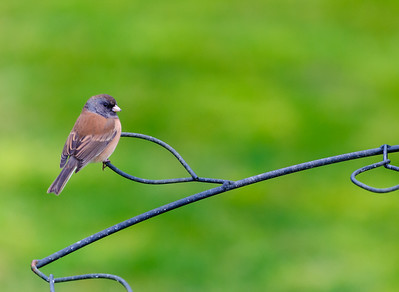 19 Nov 2014: I believe this is a Dark-Eyed Junco.