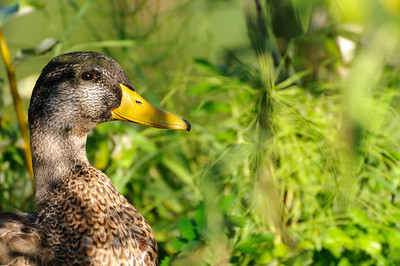 1 Sep 2014: A mallard -- the easiest bird to take a picture of