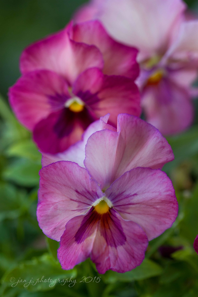 March 22 - A Pansy Profusion...