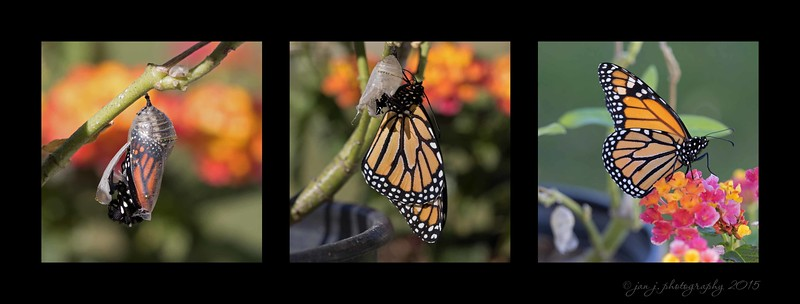 October 31 - Butterfly #3 made a very timely appearance this morning.  So fun to be able to watch.   Opened at 10:36, Fully out of the chrysalis at 10:43, Ready to take off at !2:03...it was gone by 12:30.