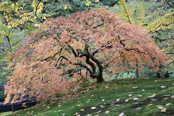 October 22 - I just love the Portland Japanese Garden in the Fall...<br /> <br /> Japanese Garden<br /> Portland, OR