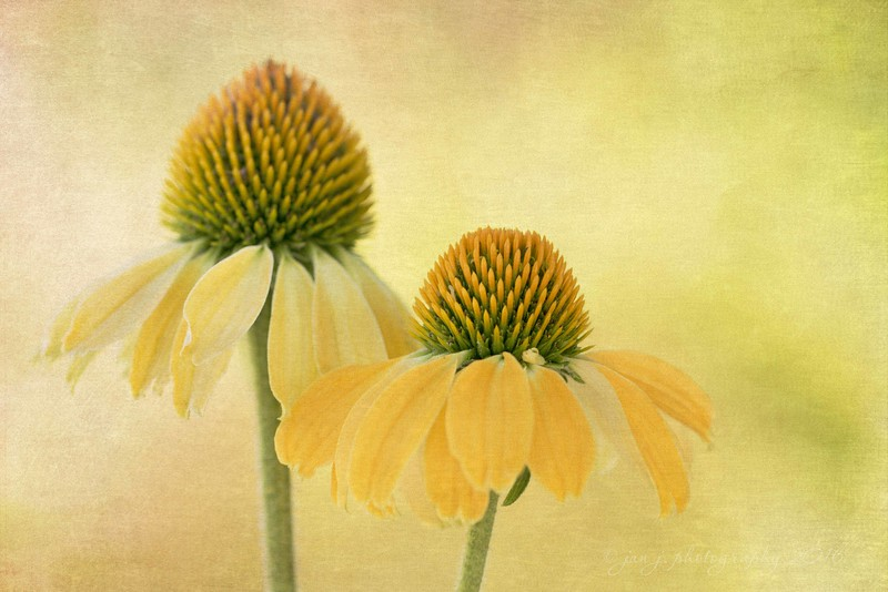 July 6 - It's a Mellow Yellow kind of a day...