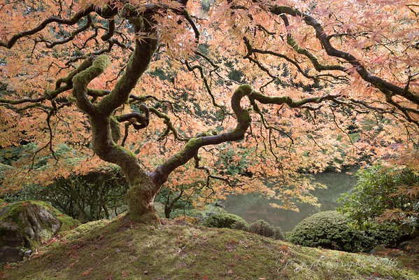 October 31 - The most photographed tree at the Portland Japanese Garden.  Last time I was here in the Fall it had already dropped it's leaves.  I was happy to see it at pretty much peak color this time around.  #CY365 - Sculpted Portland Japanese Garden Portland, OR