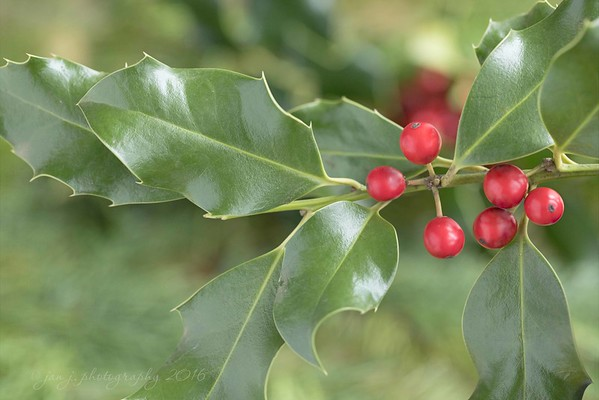 December 15 - It's time for mistletoe and holly...