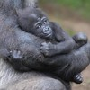 December 26 - Safe in mama's arms...<br /> <br /> San Diego Safari Park<br /> San Diego, CA