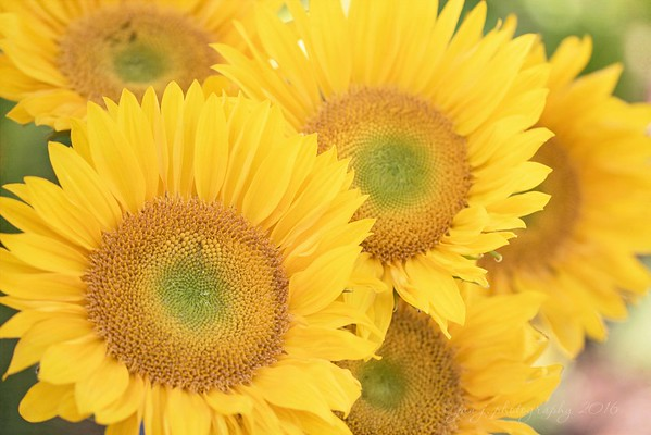 September 1 - Happy September!!  #CY365 - Happy #Focusing on Life - Yellow