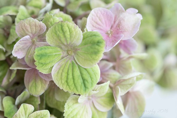 August 28 - Hmmm...I'm wondering what colors these Hydrangea blooms will dry to?  #Focusing on Life - Green