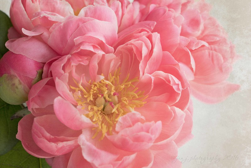 May 6 - It is a good friend that lets you know all the way from Tucson that the Peonies are in at Trader Joes...