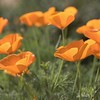 February 24 - The poppies at Mission San Juan Capistrano are in full bloom right now.
