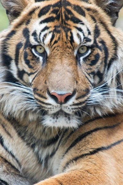 March 3 - The tigers have been very cooperative this year...<br /> <br /> #CY365 - Intent