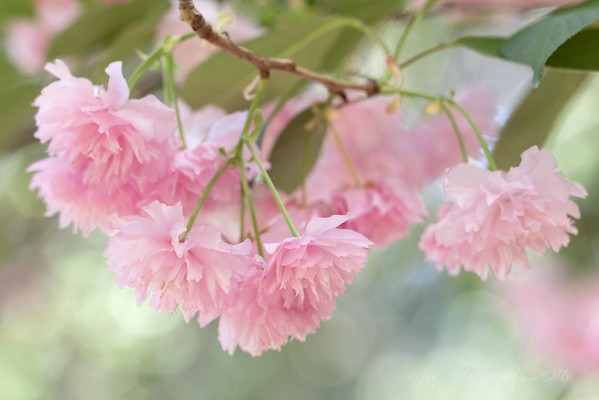 April 2 - Today it was back to Descanso Gardens, this time with the South County Photo Club.  This was some sort of exotic flowering cherry tree.  If you ask me, they should have named it The Cotton Candy Tree...<br /> <br /> #CY365 - Bokeh