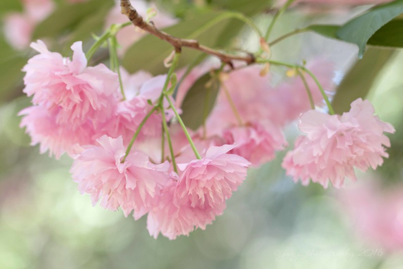 April 2 - Today it was back to Descanso Gardens, this time with the South County Photo Club.  This was some sort of exotic flowering cherry tree.  If you ask me, they should have named it The Cotton Candy Tree...  #CY365 - Bokeh