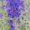 June 19 - I love blue flowers!  They aren't common, so when I find some I take my time shooting them.  You can imagine when we found a WHOLE FIELD of Delphinium I was busy for quite awhile...my husband deserves an award for patience.<br /> <br /> Lompoc Flower Fields
