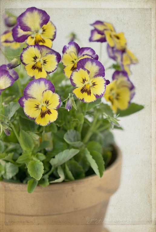 August 17 - A Pot of Pansies...