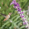 July 5 -  A little Hummingbird practice...<br /> <br /> Mission San Juan Capistrano