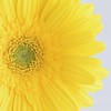 June 18 - The prompt today is 'Vivid'...I seem to be on a run of yellow lately.<br /> <br /> #CY365 - Vivid