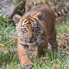 April 29 - There are new Tiger Cubs at the Safari Park, so of course that calls for a visit...