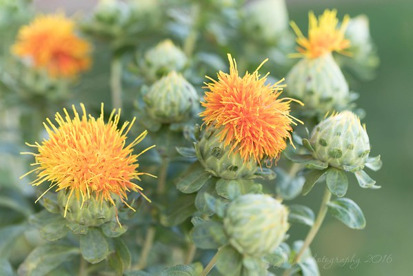 November 7 - Look what I found...Safflowers!!  I think they look like Muppet Heads.