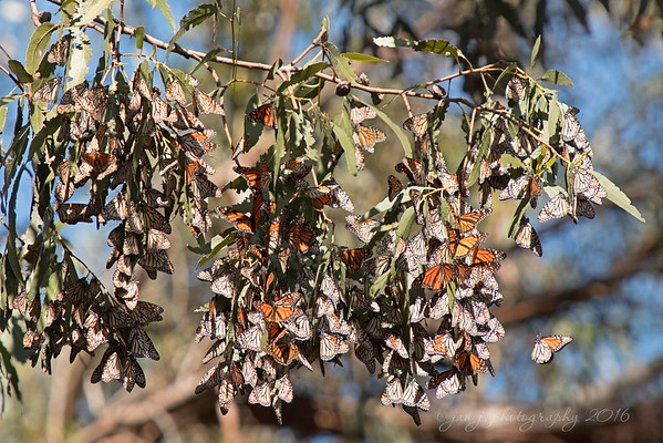 November 27 - Where have all the Monarch Butterflies gone? They've migrated to Grover Beach Butterfly grove for the winter. They estimate there's 16,000-17,000 Monarchs hanging underneath the Eucalyptus branches in the grove.  Grover Beach, CA #CY365 - Underneath