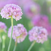 August 9 - Today I added some Sea Thrift to my garden...