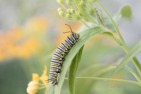 April 1 - Well, the Monarchs have returned.  When it comes to wildlife photography, patience is rewarded.  I had to sit awhile and wait for both caterpillars to model for my image.  And in about 2 weeks I'll be rewarded again with the first of the butterflies.<br /> <br /> #CY365 - Reward