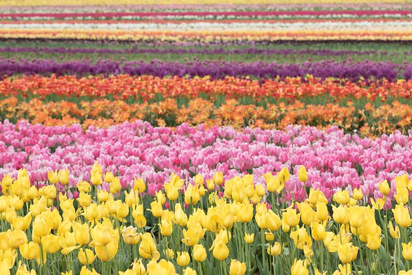 April 11 - Well today was a winner!!  Five hours shooting the Tulip Fields near Portland, Oregon.  My husband and daughter deserve medals for patience.<br /> <br /> Wooden Shoe Tulip Farm, Woodburn, OR
