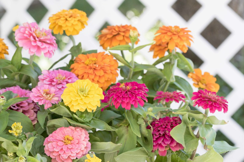 July 14 - Zinnias just scream summer...  #CY365- Full of Color