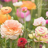 April 4 - The ranunculus fields are always a feast for the eyes...<br /> <br /> #CY365 - Growth/Potential<br /> The Flower Fields<br /> Carlsbad, CA