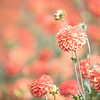 October 4 - Hello Autumn...<br /> <br /> #CY365 - Blooming<br /> Swan Island Dahlias<br /> Canby, OR