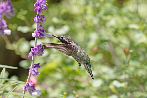 June 1 - Kicking the month off with a little Hummingbird practice...<br /> <br /> #CY365 - Purple/Plant/Background