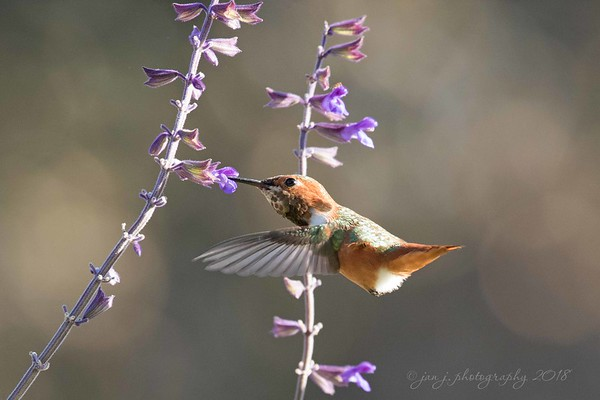 January 5 - Since I live in an area that has hummingbirds year around, I try to practice shooting them in flight about once a month. Sometimes I'm more successful than others...<br /> <br /> #CY365 - Practice<br /> Fullerton Arboretum