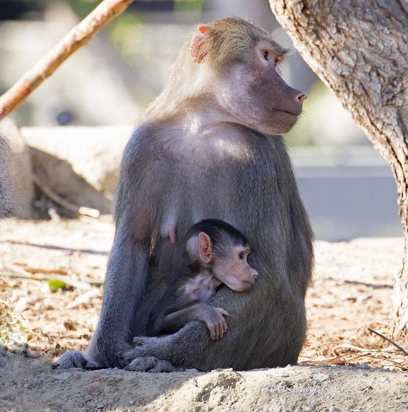 January 4 - New exhibit at the San Diego Zoo. When the baboons refuse to look at the camera, I have to make due with a shot of that cute little ear...<br /> <br /> #CY365 - Improvise/Make Do<br /> San Diego Zoo