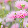 September 20 -  A sea of pink...<br /> <br /> #CY365 - Obvious<br /> Swan Island Dahlias<br /> Canby, OR