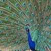 "April 7 - Craig and I headed to the LA Arboretum this morning. The peacocks were very ""busy""...<br /> <br /> #CY365 - Budding/Contrast<br /> LA Arboretum<br /> Arcadia, CA"