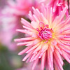 September 11 - Just beginning to look through my dahlia images...<br /> <br /> Swan Island Dahlias<br /> Canby, OR