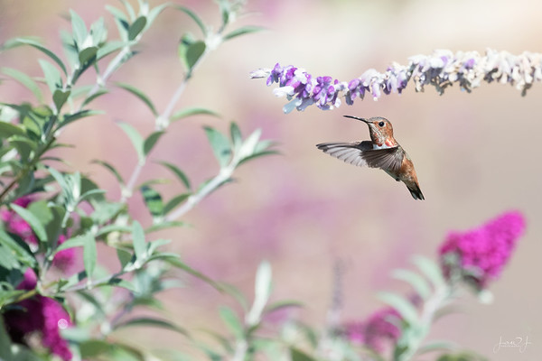 August 1 - Practicing hummingbirds this morning until it was too hot to stand there any longer...  #CY365 - Garden