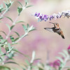 August 1 - Practicing hummingbirds this morning until it was too hot to stand there any longer...<br /> <br /> #CY365 - Garden