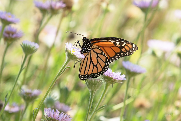 July 30 - Currently loving Monarch Butterfly season...<br /> <br /> #CY365 - Currently Loving