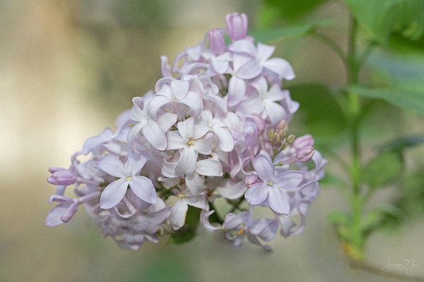 May 5 - When you find Lilacs in Southern California it is definitely a Lucky Find...<br /> <br /> #CY365 - Lucky Find<br /> Descanso Gardens 2018