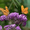 March 20 - Two for the price of one! I'm thankful I got them both in focus...<br /> <br /> #CY365 - Beautiful Blur<br /> Butterfly Jungle<br /> 3-2018