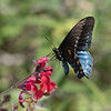 July 26 - Not everyone looks good in blue and orange, but this pretty lady sure does...<br /> <br /> #CY365 - Natural/Red<br /> Butterfly Farms<br /> Encinitas, CA