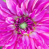 September 13 - Better late than never...<br /> <br /> Swan Island Dahlias