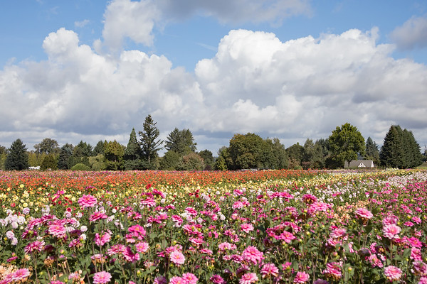 September 10 - I spent the day at Swan Island Dahlia Farm...  #CY365 - From a Distance Canby, OR