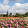 September 10 - I spent the day at Swan Island Dahlia Farm...<br /> <br /> #CY365 - From a Distance<br /> Canby, OR