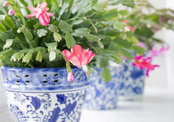 January 8 - My tardy Christmas Cactus...<br /> <br /> <br /> #CY365 - Splotches of White