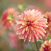 September 19 - Puckered Up<br /> <br /> #CY365 - Pucker<br /> Swan Island Dahlias<br /> Canby, OR