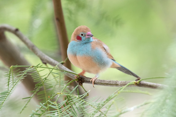 September 9 - Red Cheeked Cordon Bleu...Cutest Bird Ever!<br /> <br /> #CY365 - Viewpoint<br /> San Diego Zoo